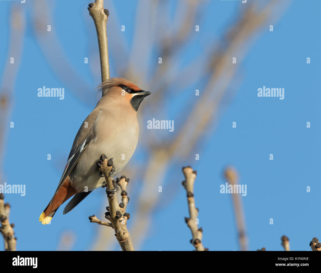 Very detailed, low-angle close up of one adult waxwing (Bombycilla garrulus) perched high in a leafless tree in - Stock Image