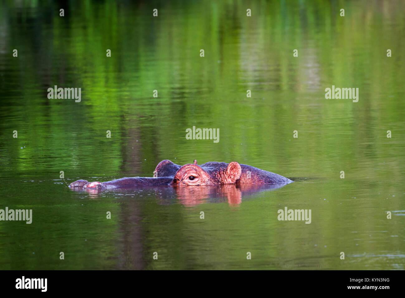 Hippopotamus in Kruger national park, South Africa ; Specie Hippopotamus amphibius family of Hippopotamidae - Stock Image