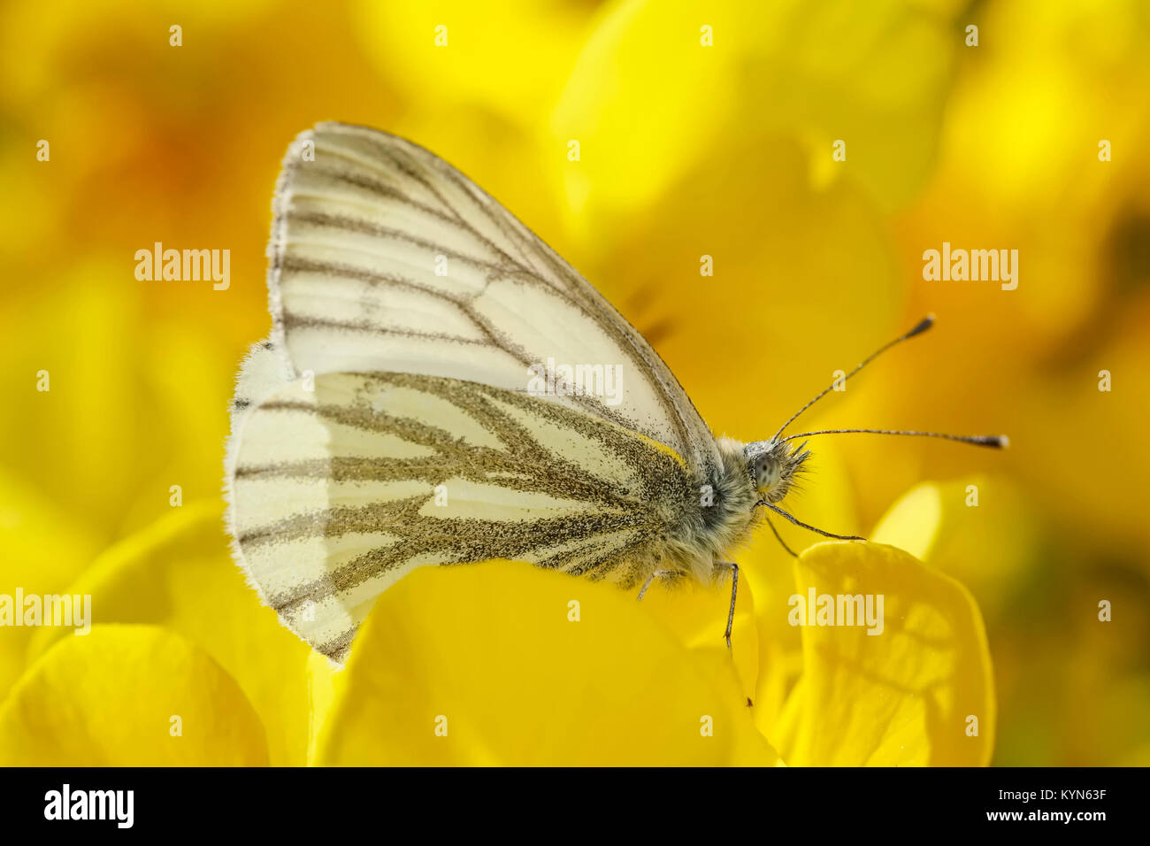 Green-veined White Butterfly resting on flowers - Pieris napi - Stock Image
