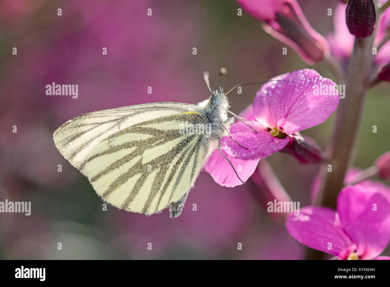 Green-veined White Butterfly resting on Erysimum Bowles mauve flowers - Pieris napi - Stock Image
