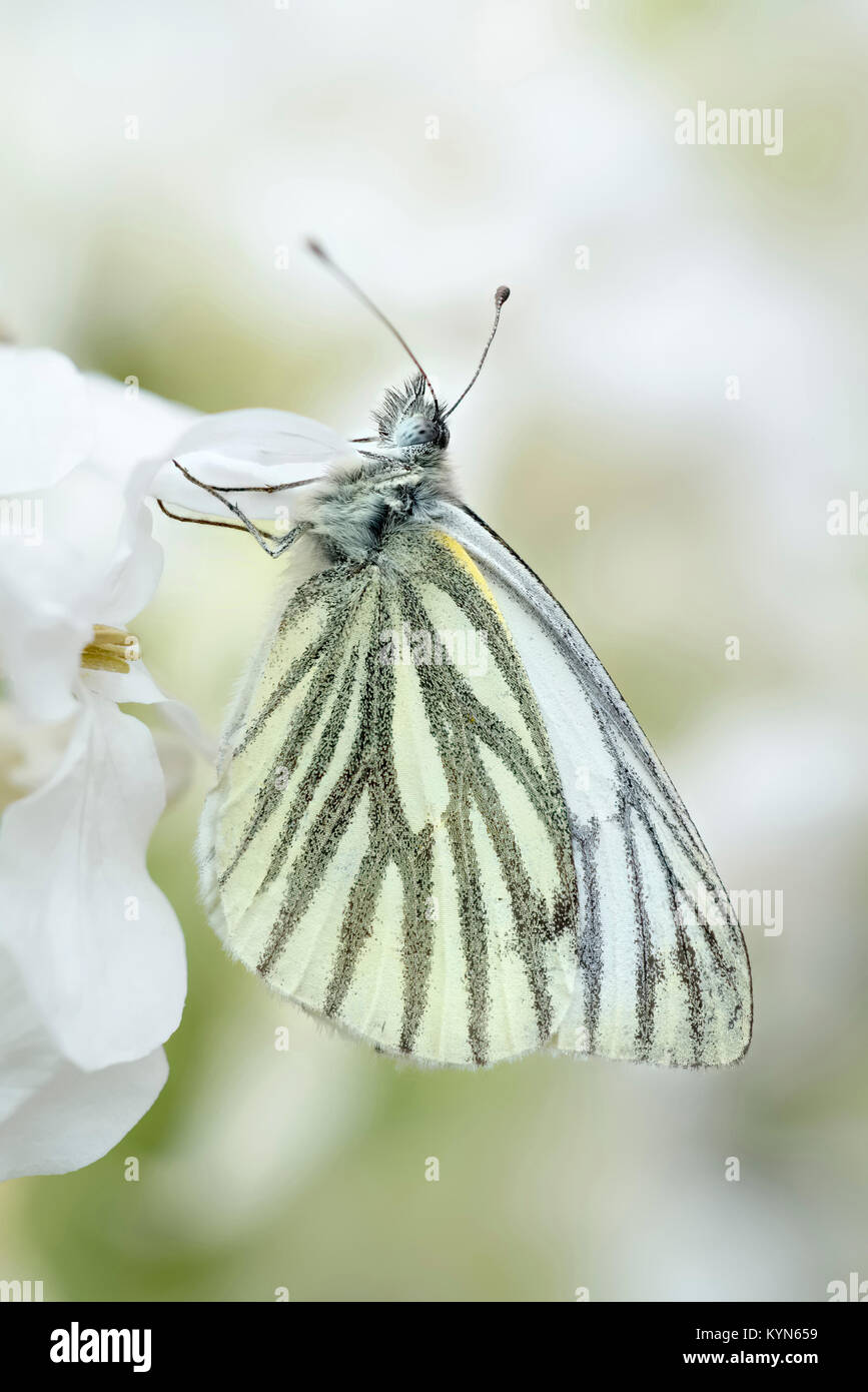 Green-veined White Butterfly resting on Honesty flowers - Pieris napi - Stock Image