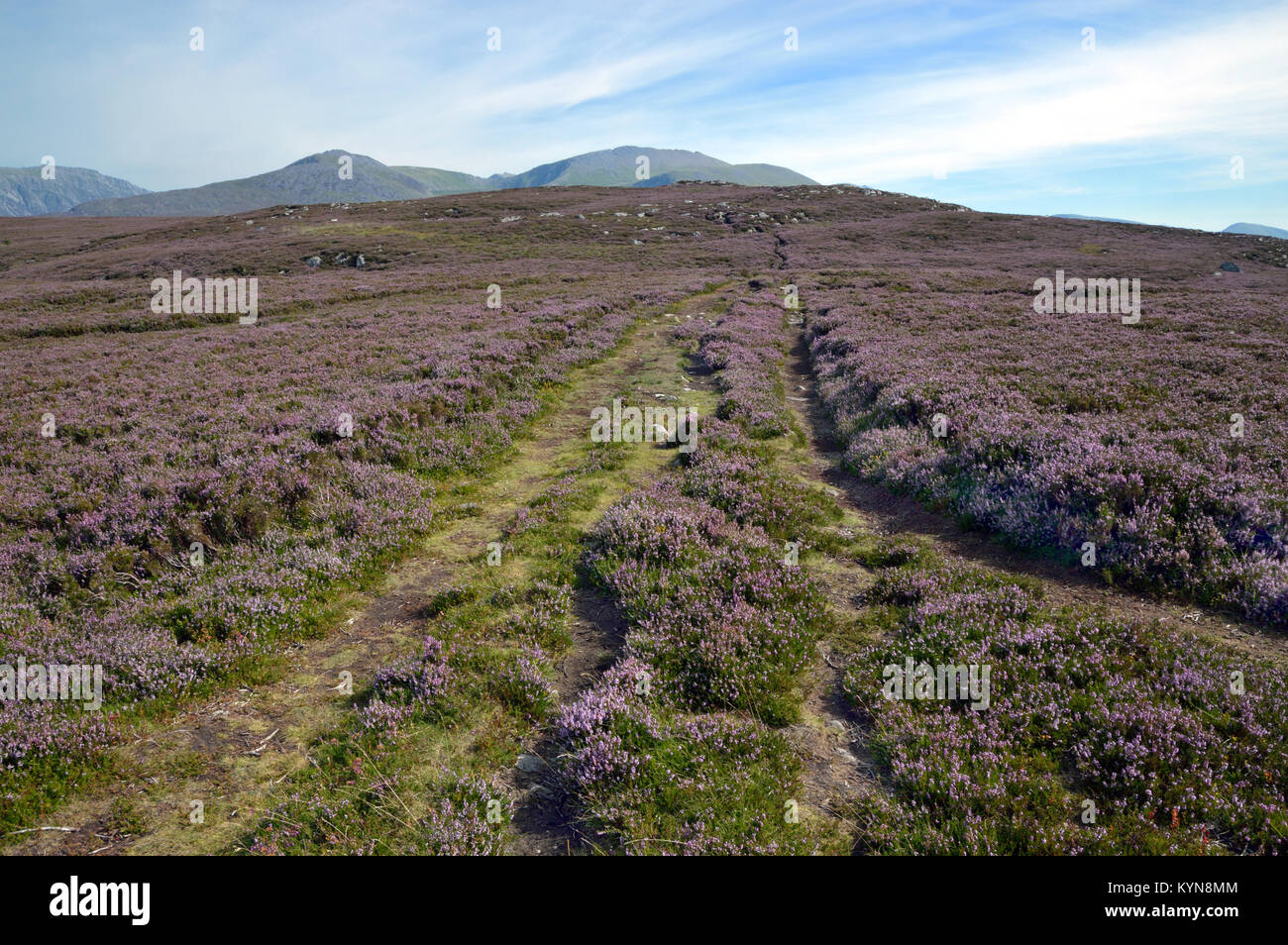 Mountain heath, dominated by small shrubs with evergreen leaves, is here located on Moel y Ci on the edge of the - Stock Image
