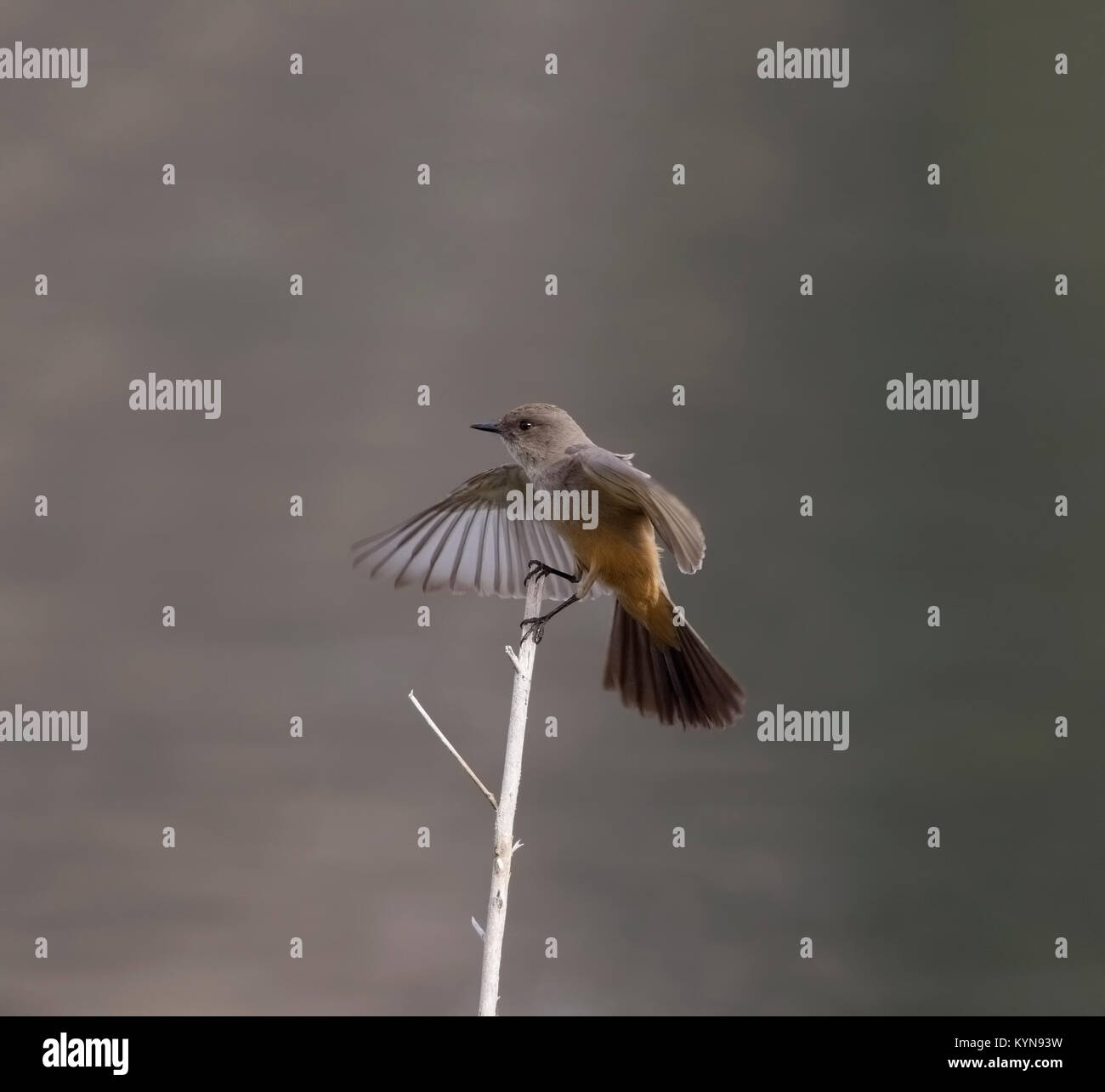 Say's Phoebe Just landed on twig - Stock Image