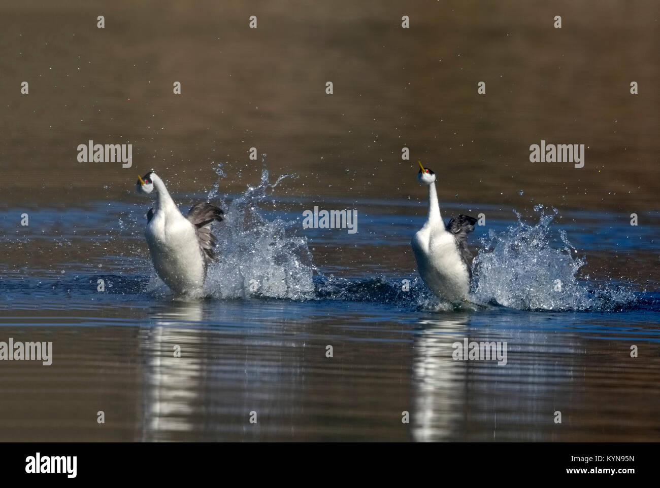 Western Grebes Rushing - Stock Image