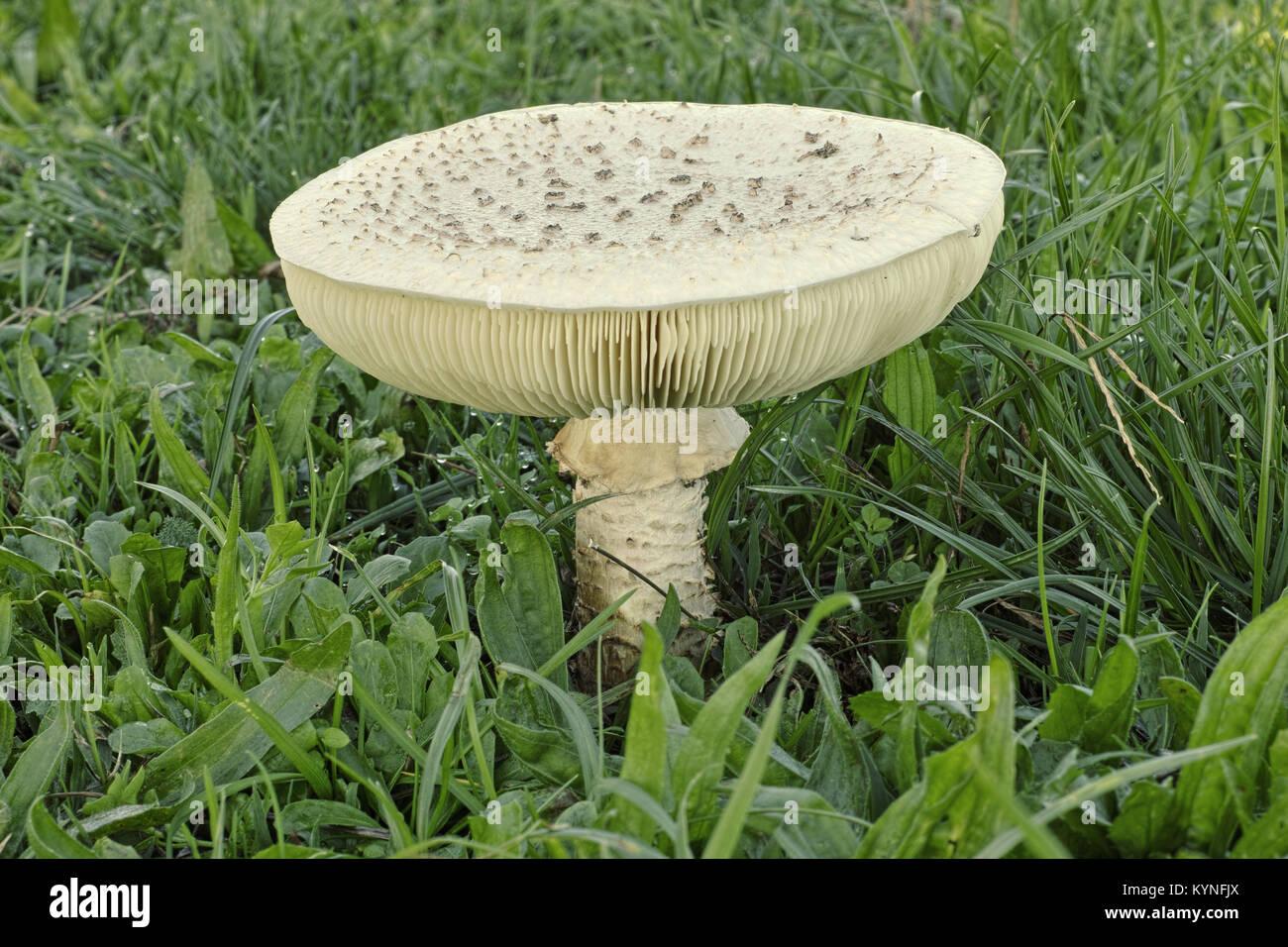 mature specimen of mushroom Amanita vittadinii - Stock Image