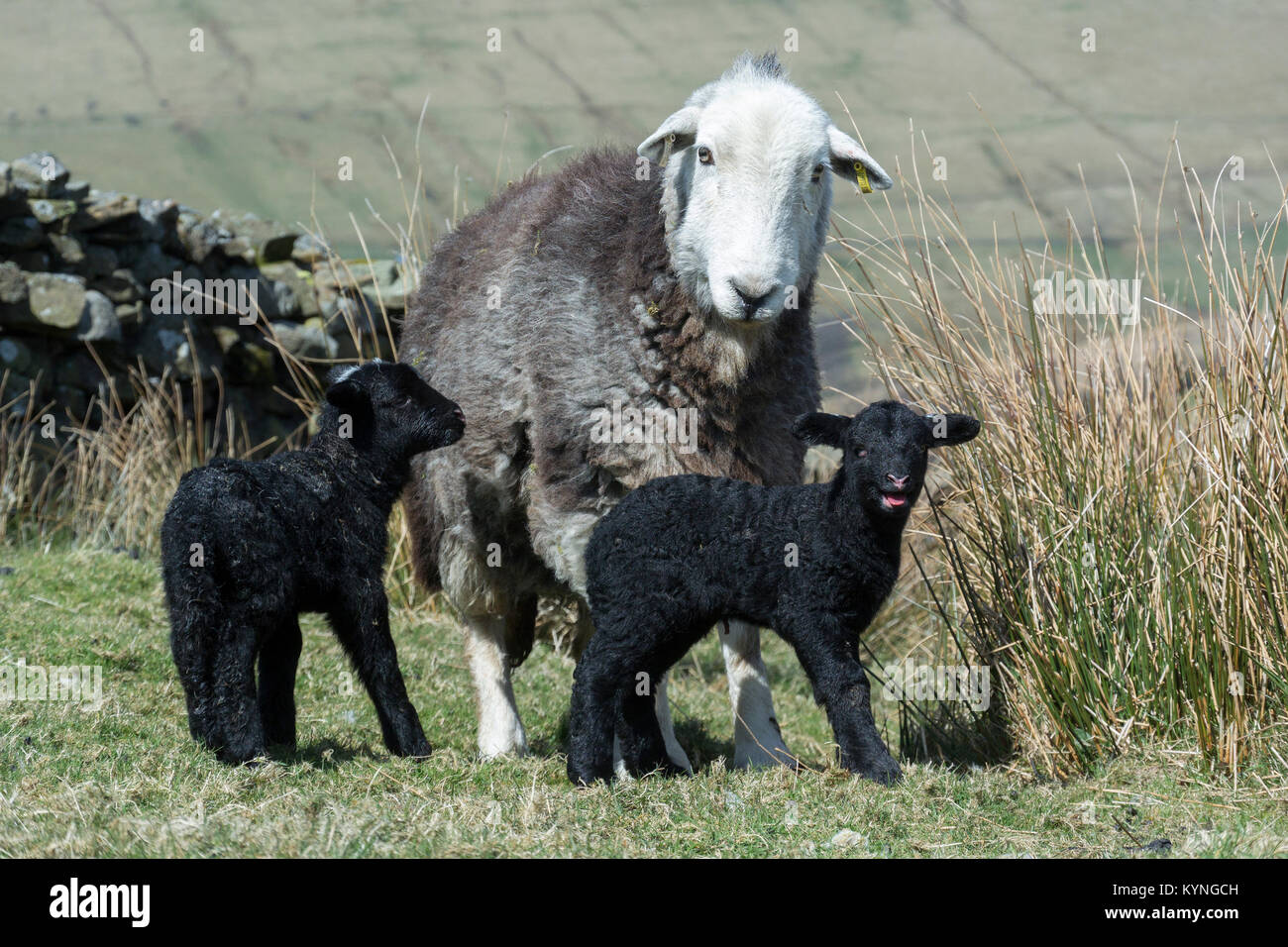 Herdwick ewe with newborn lamb in upland pasture, UK. - Stock Image