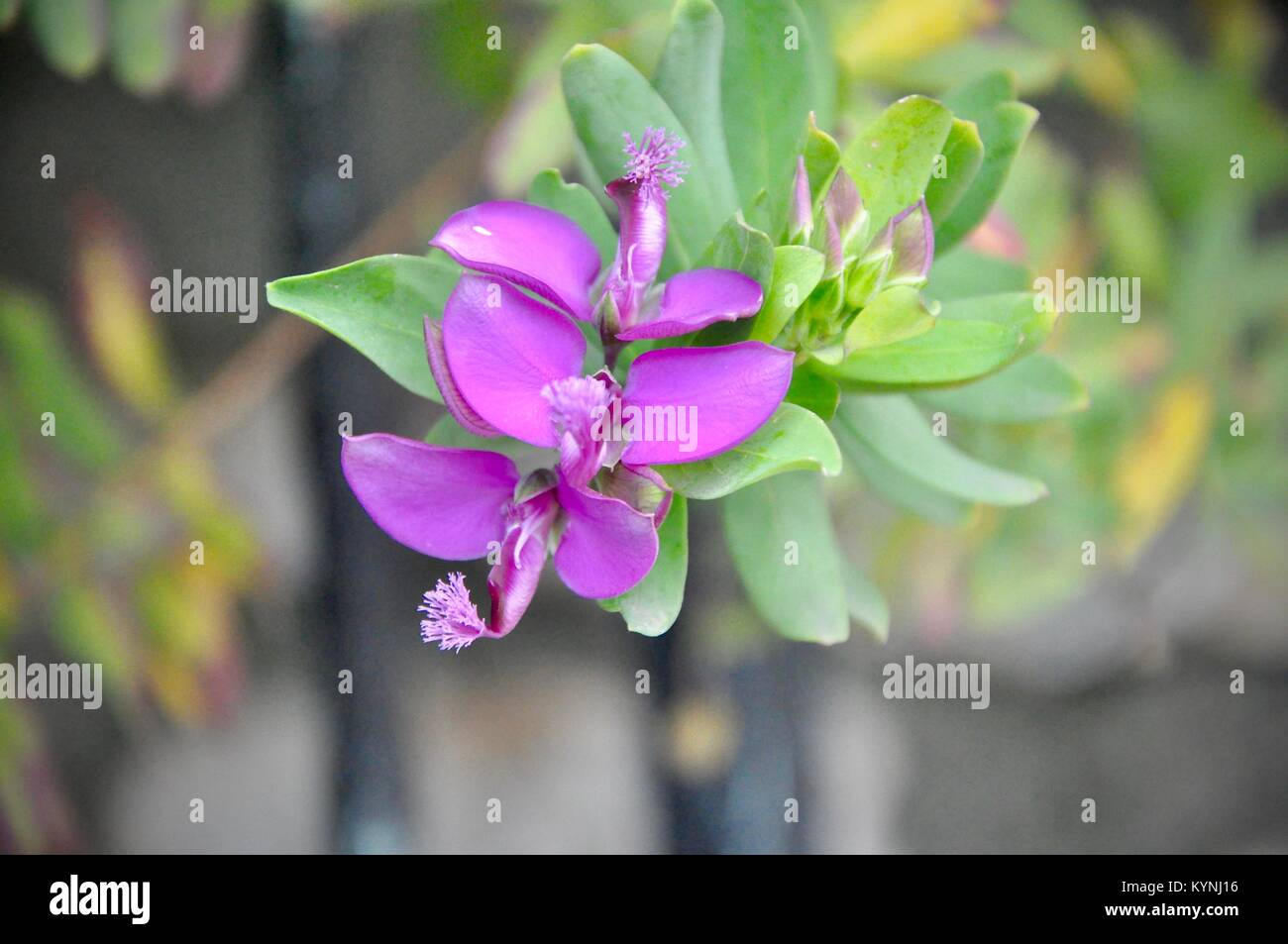 Pink flower Polygala myrtifolia On green background in island of Croatia - Stock Image