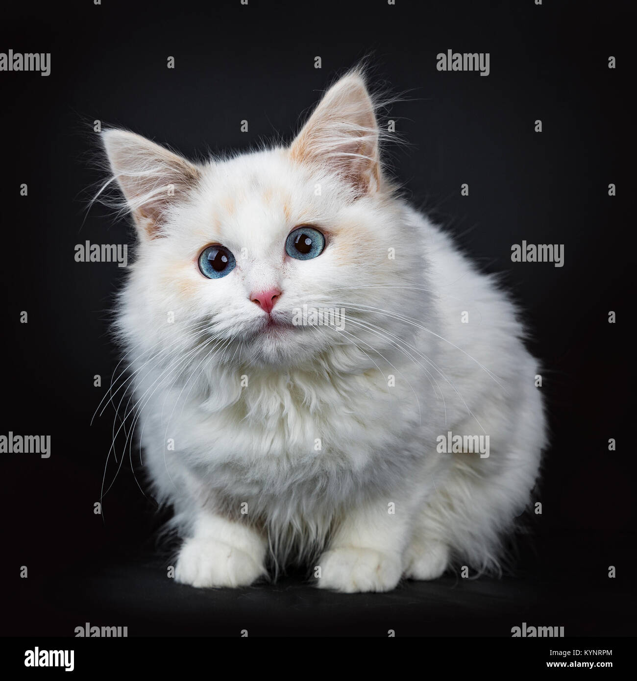 Blue eyed ragdoll cat / kitten laying isolated on black background facing camera waiting - Stock Image