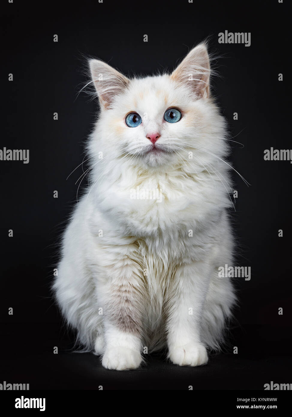 Blue eyed ragdoll cat / kitten sitting isolated on black background looking at the lens - Stock Image
