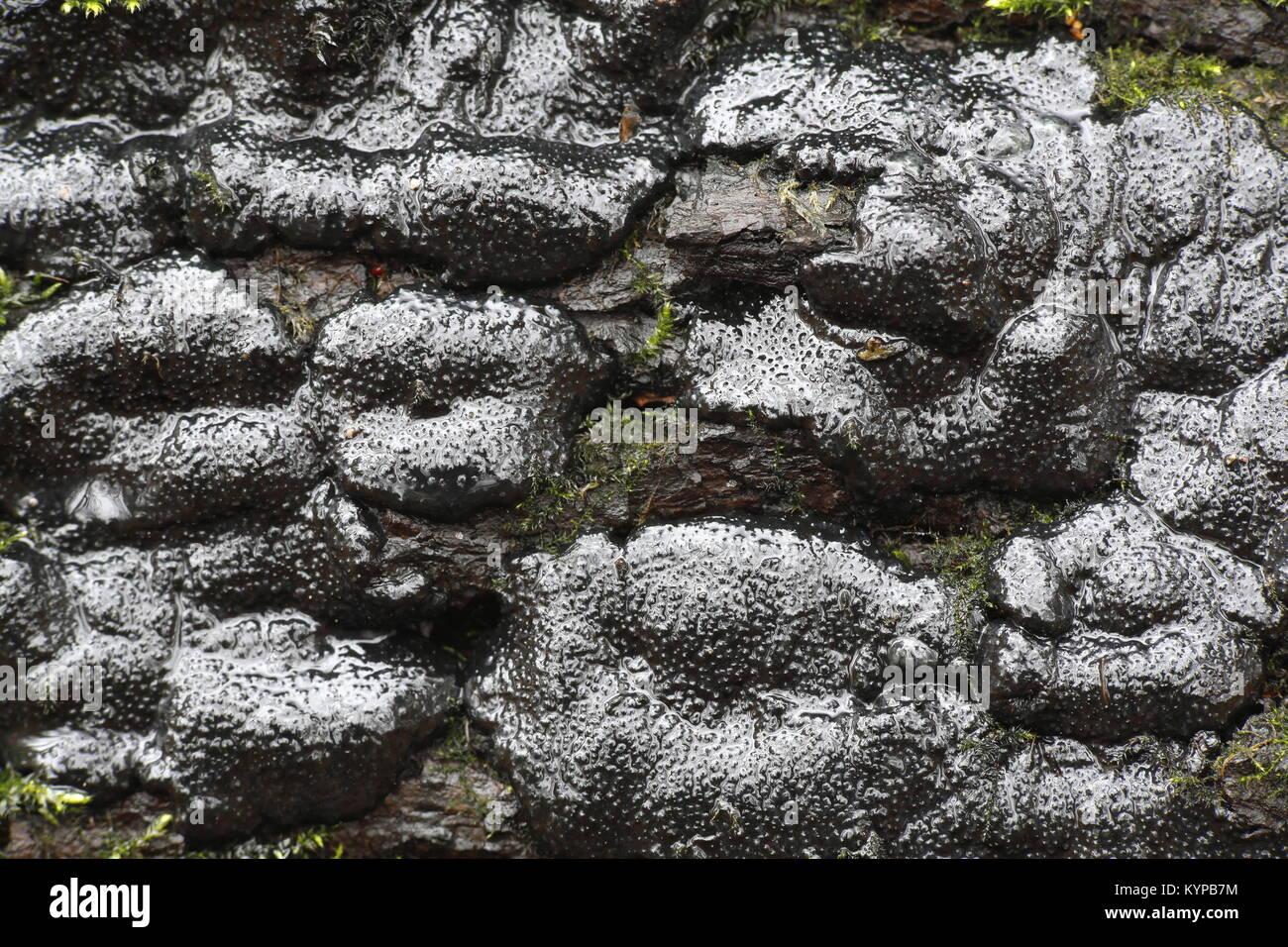 Brittle cinder fungus, Kretzschmaria deusta, very serious plant pathogen destroying park trees - Stock Image