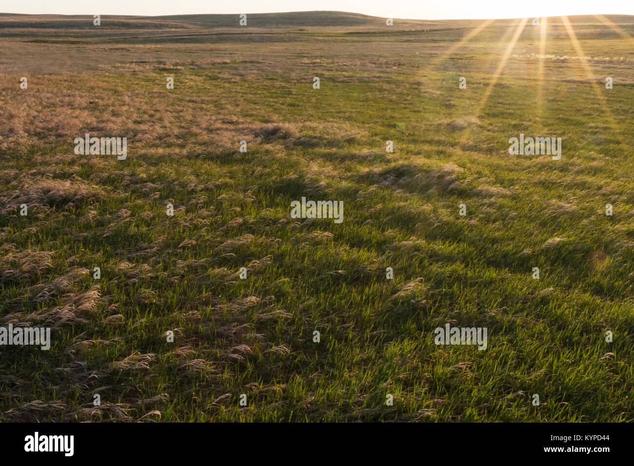 Golden grass is bend over by the wind on the flat pairie. - Stock Image