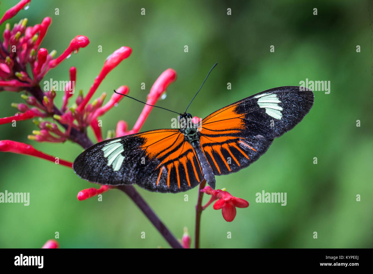 Close up of orange black and white Heliconius erato notabilis butterfly commonly known as small postman butterfly - Stock Image