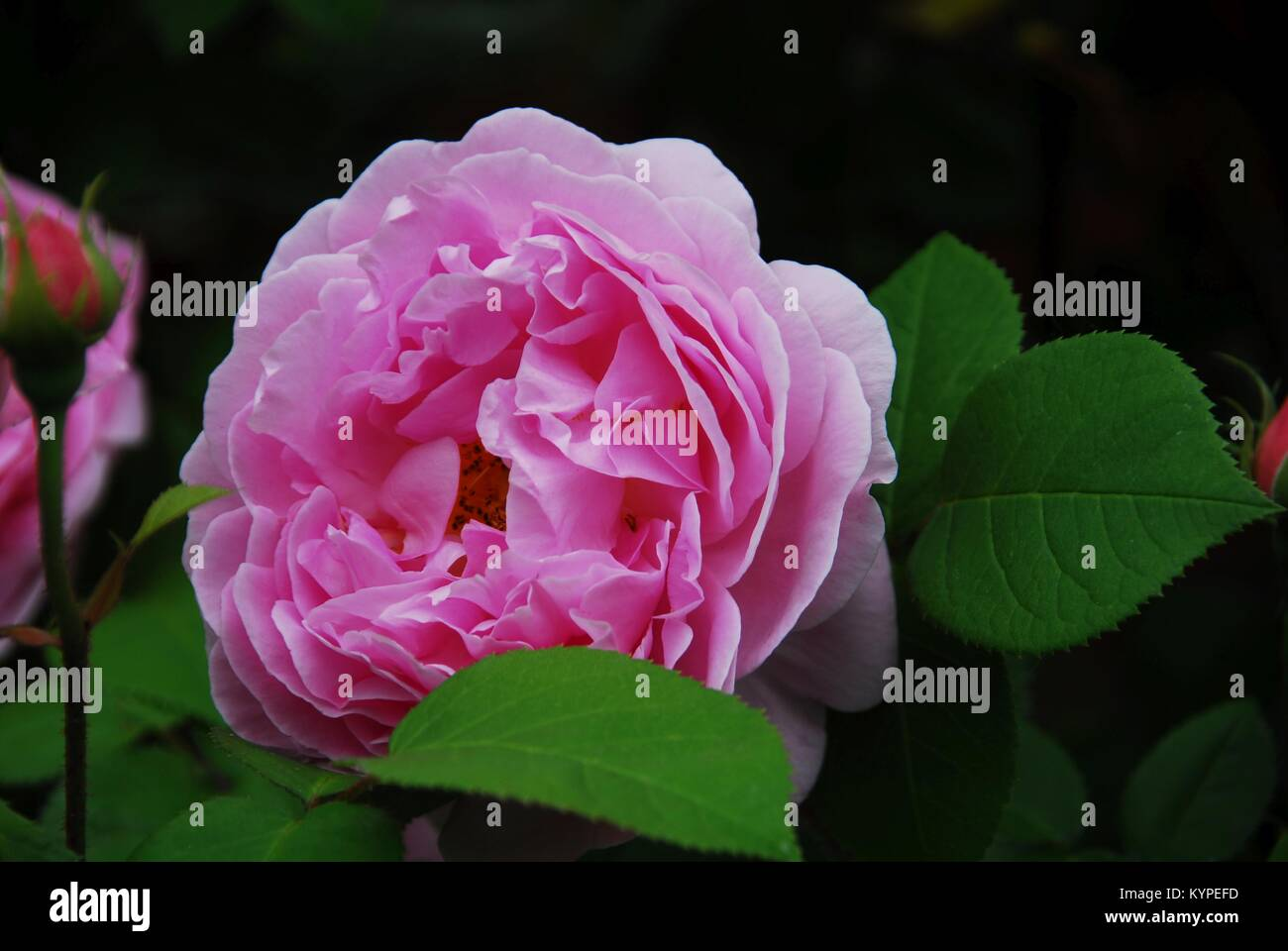 Delicate pink peony picked in own garden - Stock Image