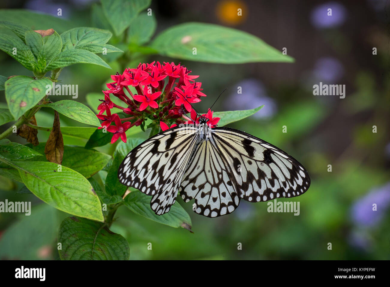 Idea leuconoe, the paper kite, rice paper or large tree nymph butterfly on red flowers - Stock Image