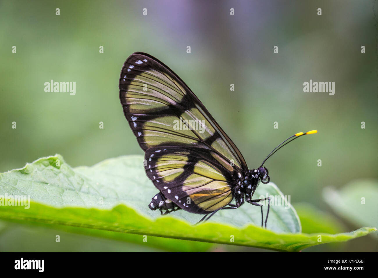 Close up of Glasswing butterfly, Greta oto - Stock Image