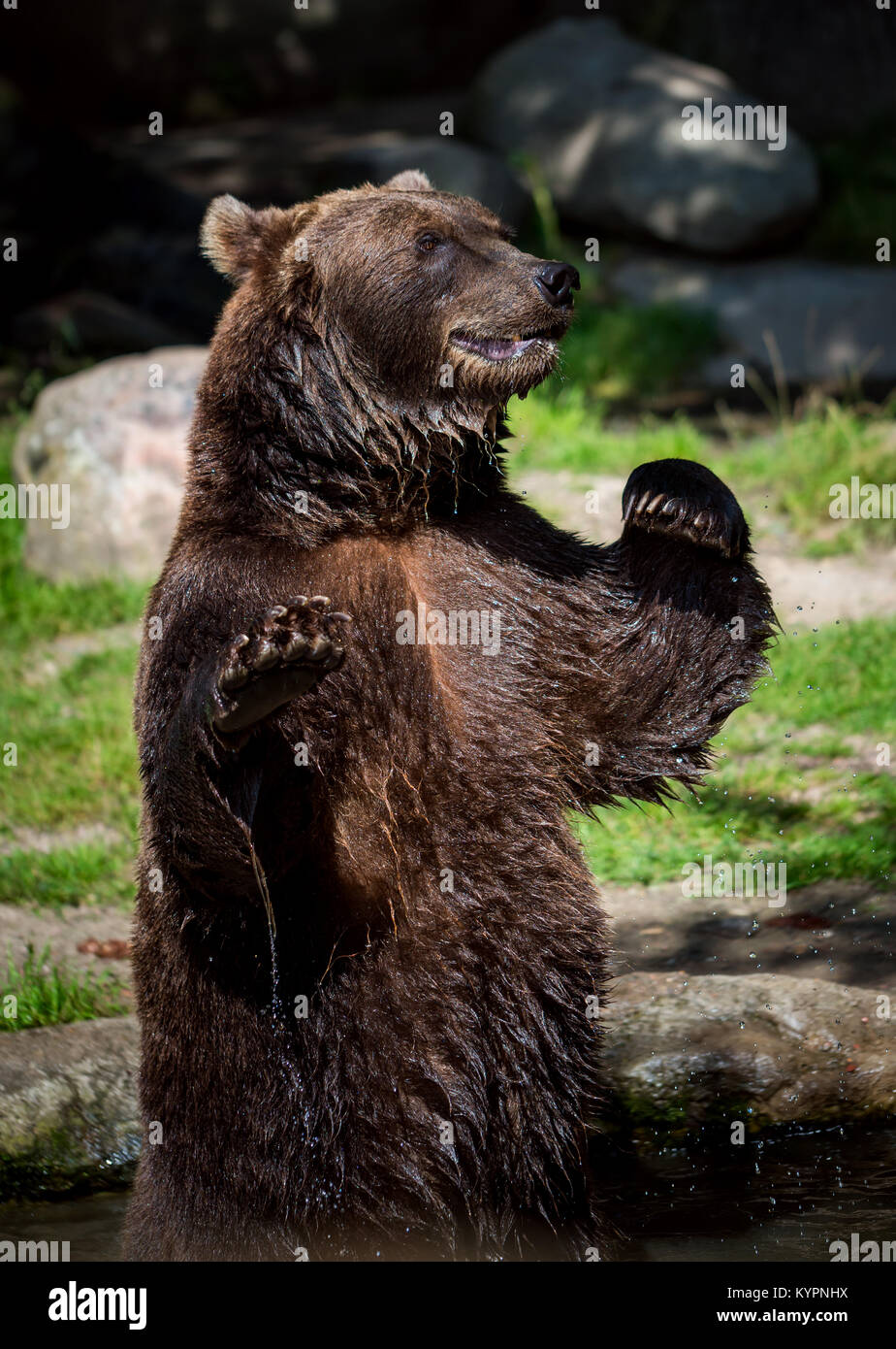 Brown bear (Ursus arctos) is the most widely distributed bear and is found across much of northern Eurasia and North - Stock Image