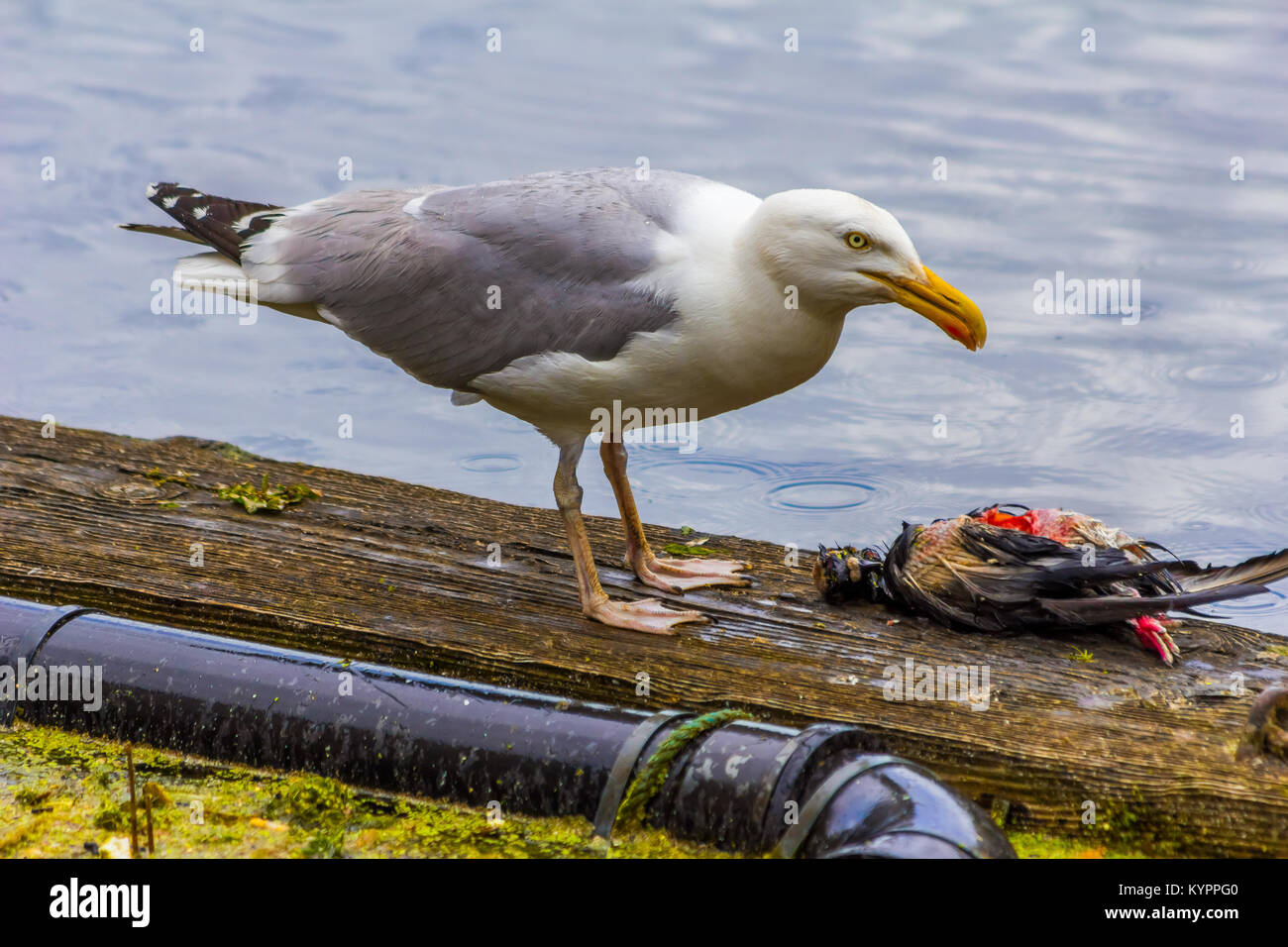 Seagull eating bird, Carnivore. Stock Photo