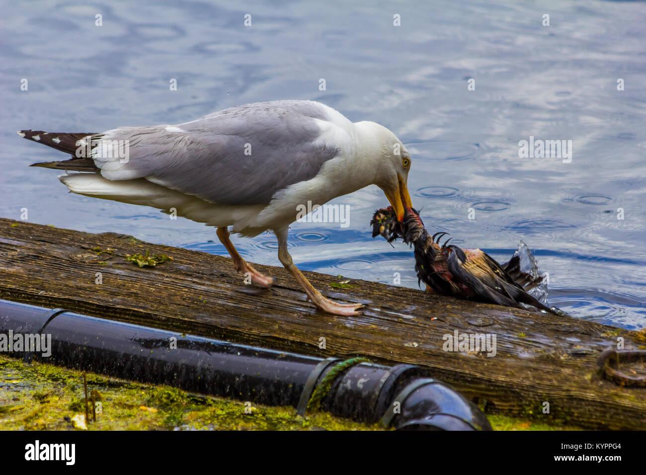 Seagull eating bird, Carnivore. Stock Photo