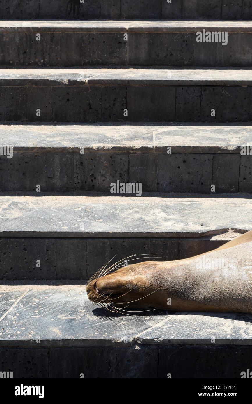 Galapagos sea Lion asleep on steps, - Concept image,  funny animal; San Cristobal Harbour, San Cristobal island, - Stock Image