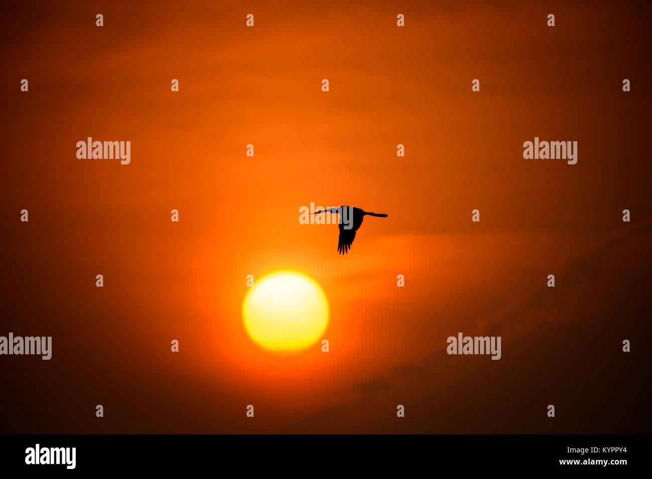 Oriental darter Flying towards the Sunset at Punchakkari, Thiruvananthapuram, Kerala - Stock Image