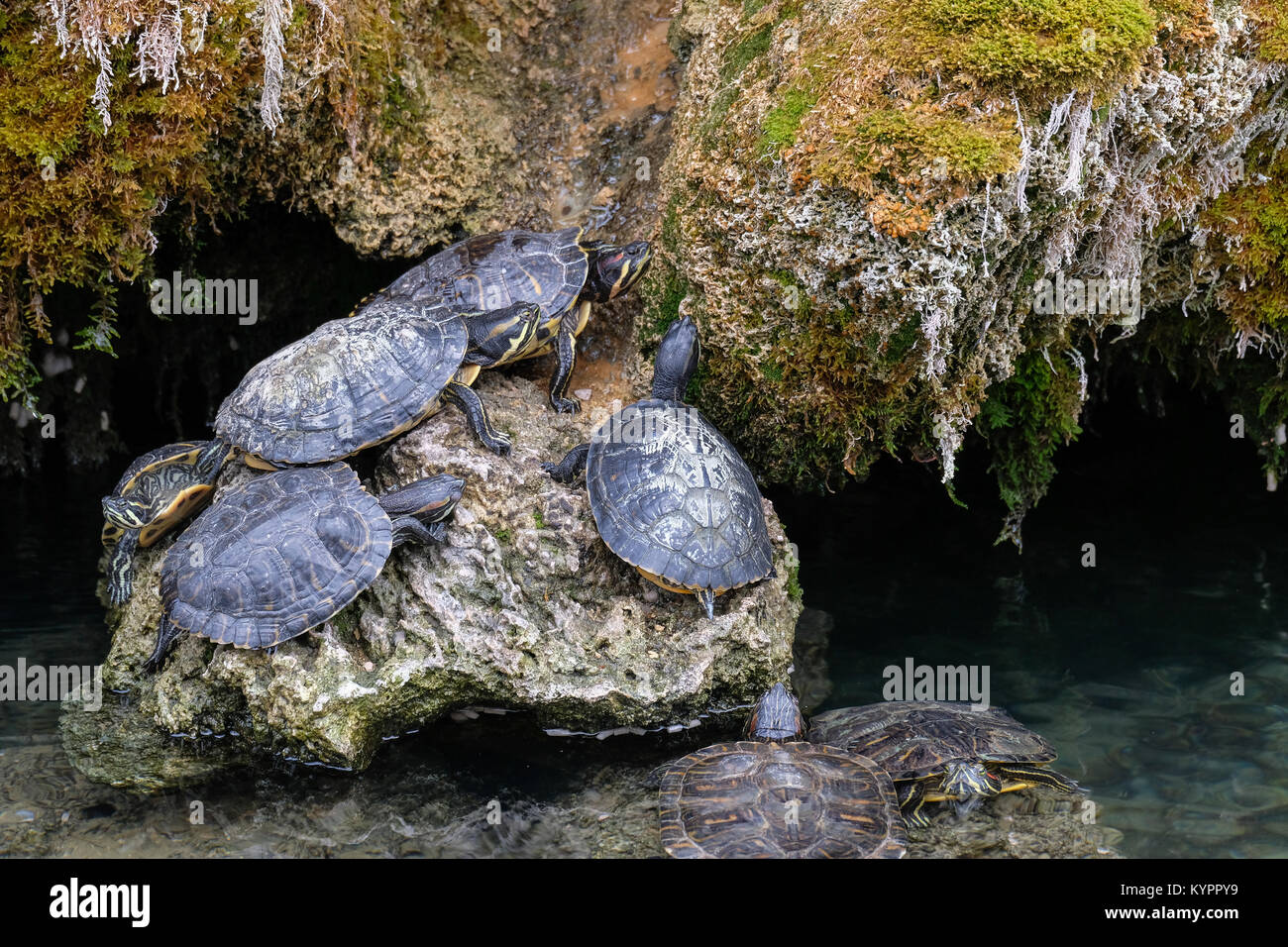 Dozens of small turtles, staying completely motionless on a cold december day. - Stock Image