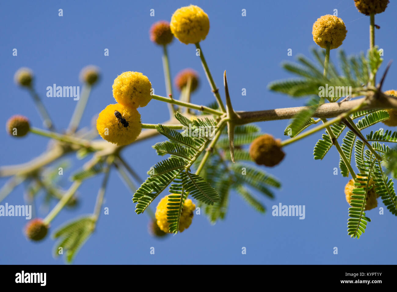 Gum Arabic Tree Stock Photos Gum Arabic Tree Stock Images Alamy