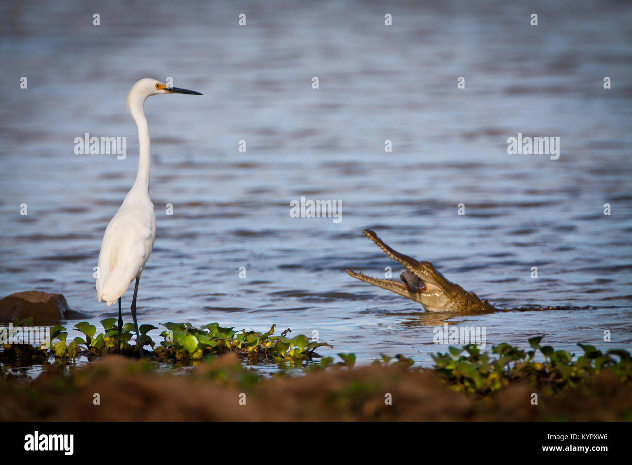 Great egret and Spectacled Cayman eating fish in the Cienaga de las Macanas, Herrera province, Republic of Panama. Stock Photo