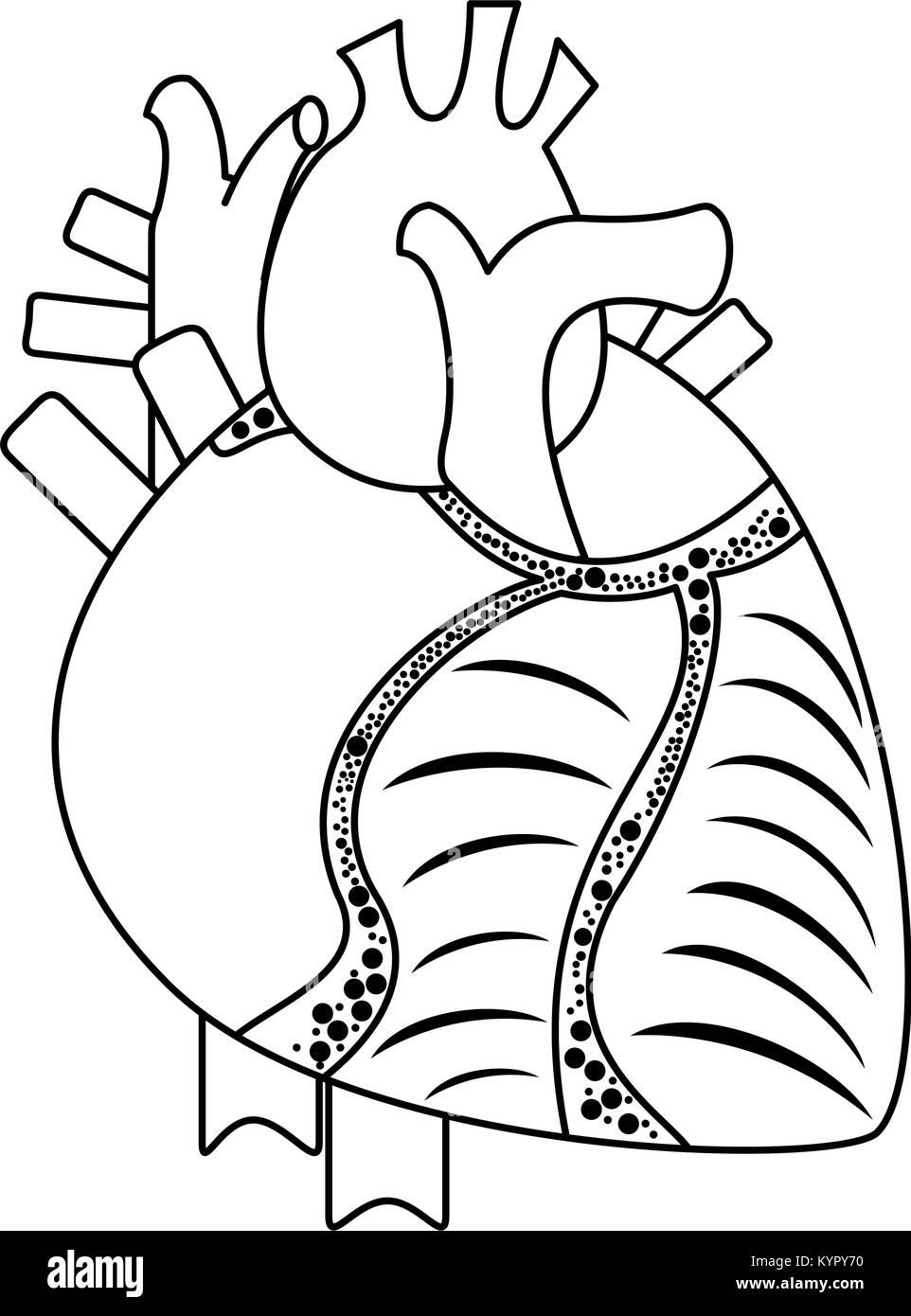 Human heart organ - Stock Image