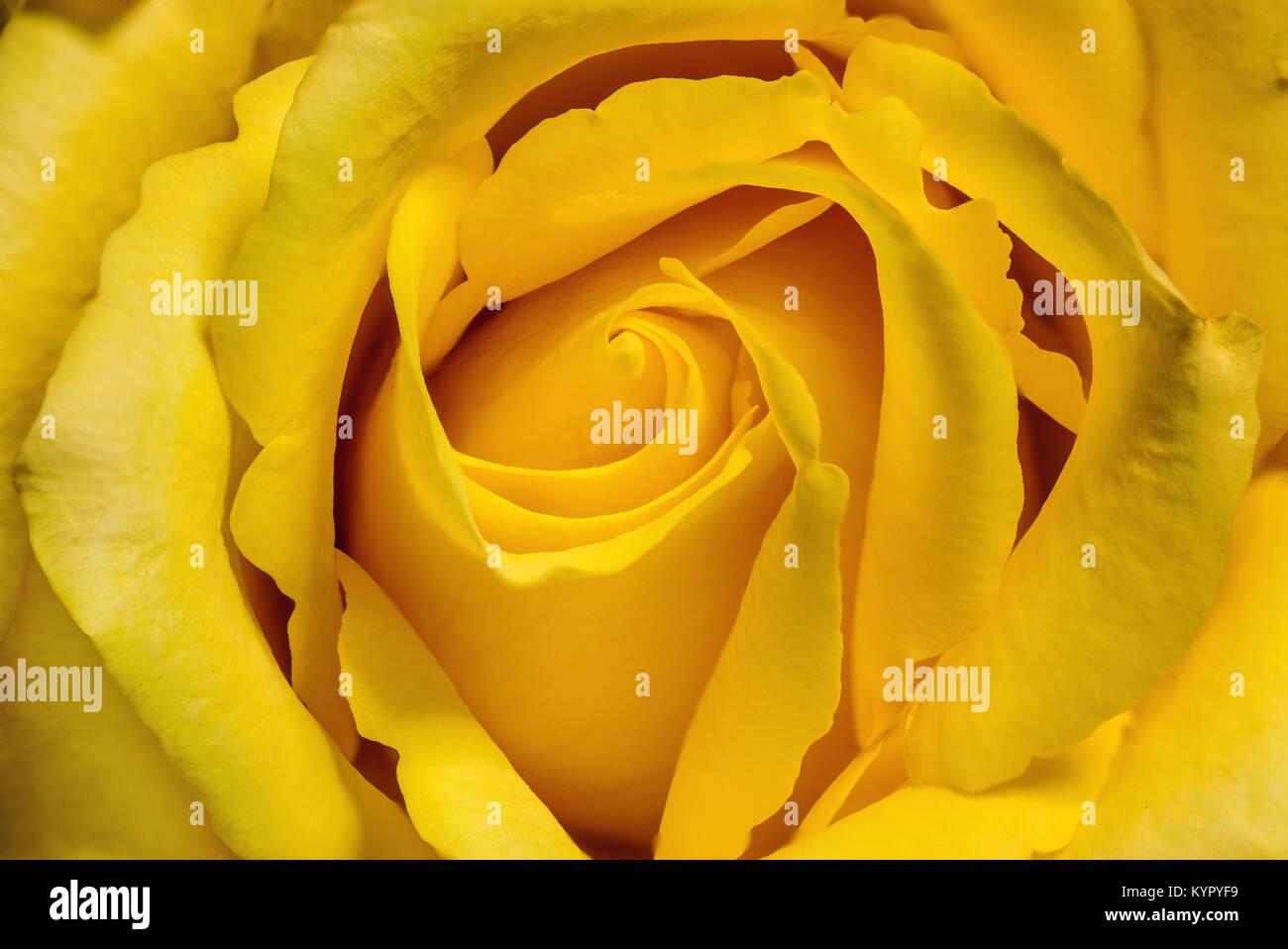 Soft Focus Yellow Rose Flower Stock Photos Soft Focus Yellow Rose