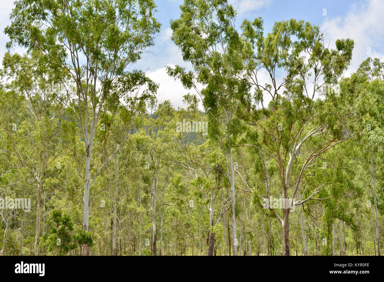 Dry tropics dry sclerophyll eucalypt forests, between Bowen and  Townsville, Queensland, Australia - Stock Image