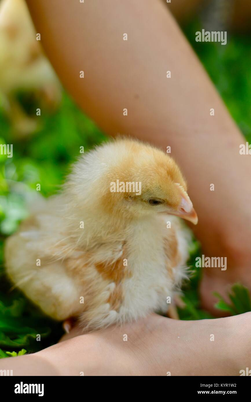 One week old domestic free range chicks playing with children (Rhode Island Red Breed), in a natural setting, Townsville, - Stock Image