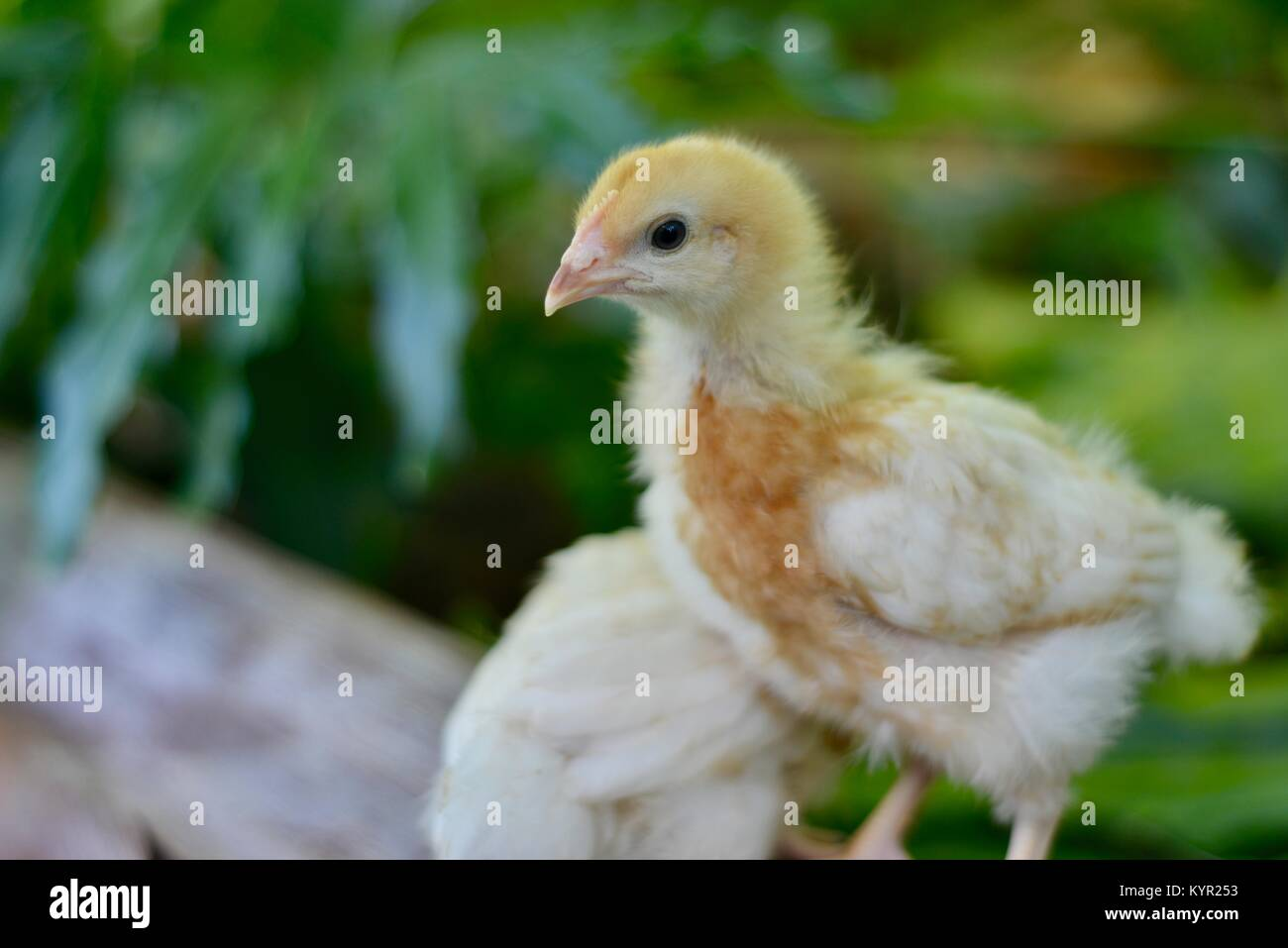 One week old domestic free range chicks, Rhode Island Red Breed, in a natural setting, Townsville, Queensland, Australia - Stock Image