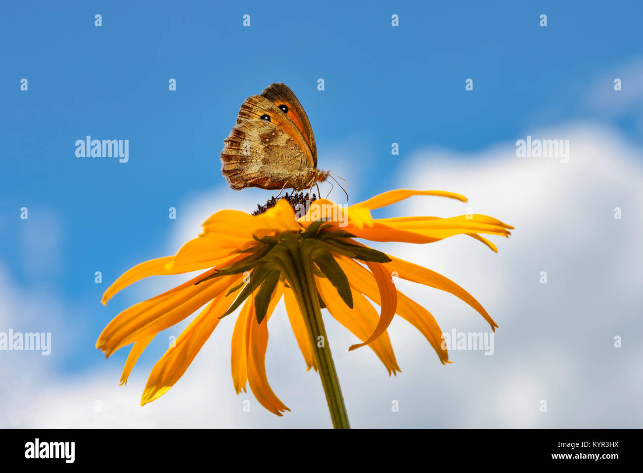 Butterfly Pyronia tithonus, also called Gatekeeper or Hedge brown, feeding on nectar from a flowering orange coneflower - Stock Image