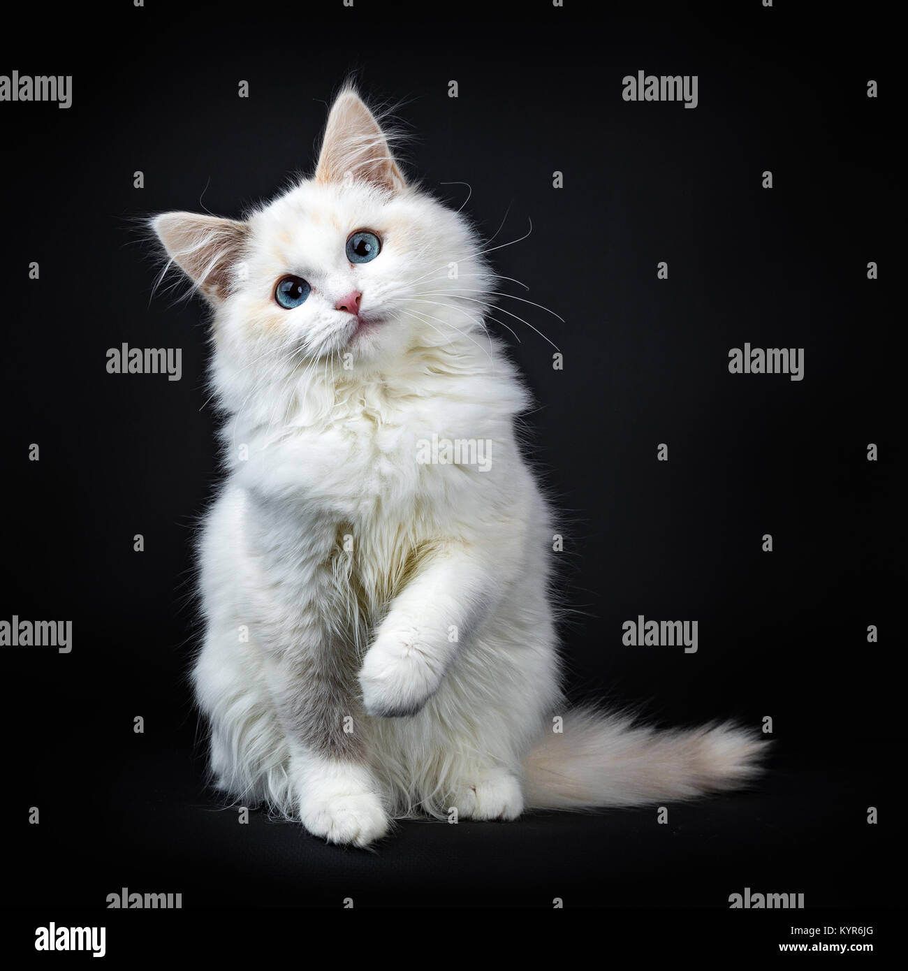 Blue eyed ragdoll cat / kitten sitting isolated on black background looking at the lens with tilted head and lifted - Stock Image