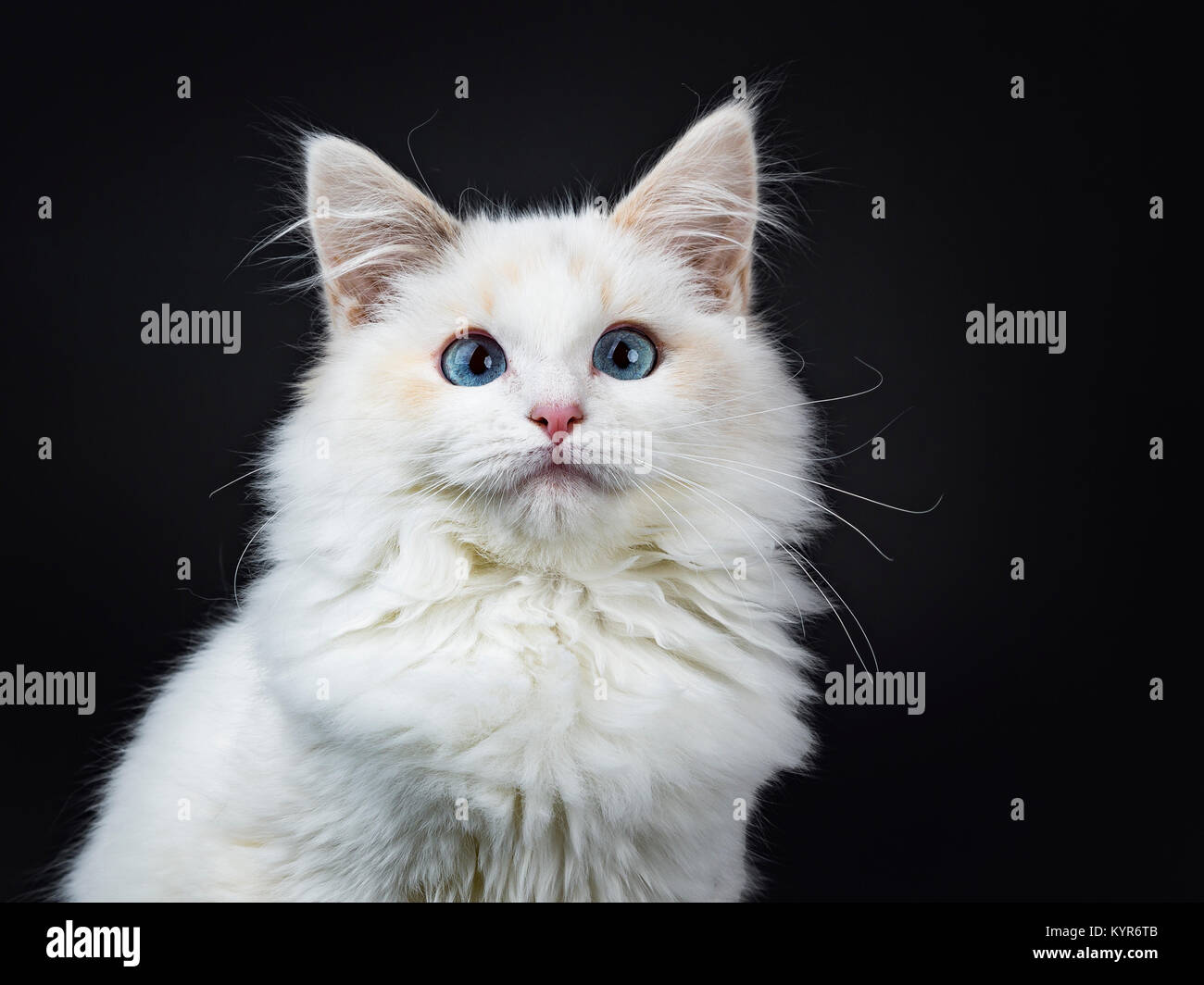 Purebred Ragdoll Cat Stock Photos & Purebred Ragdoll Cat