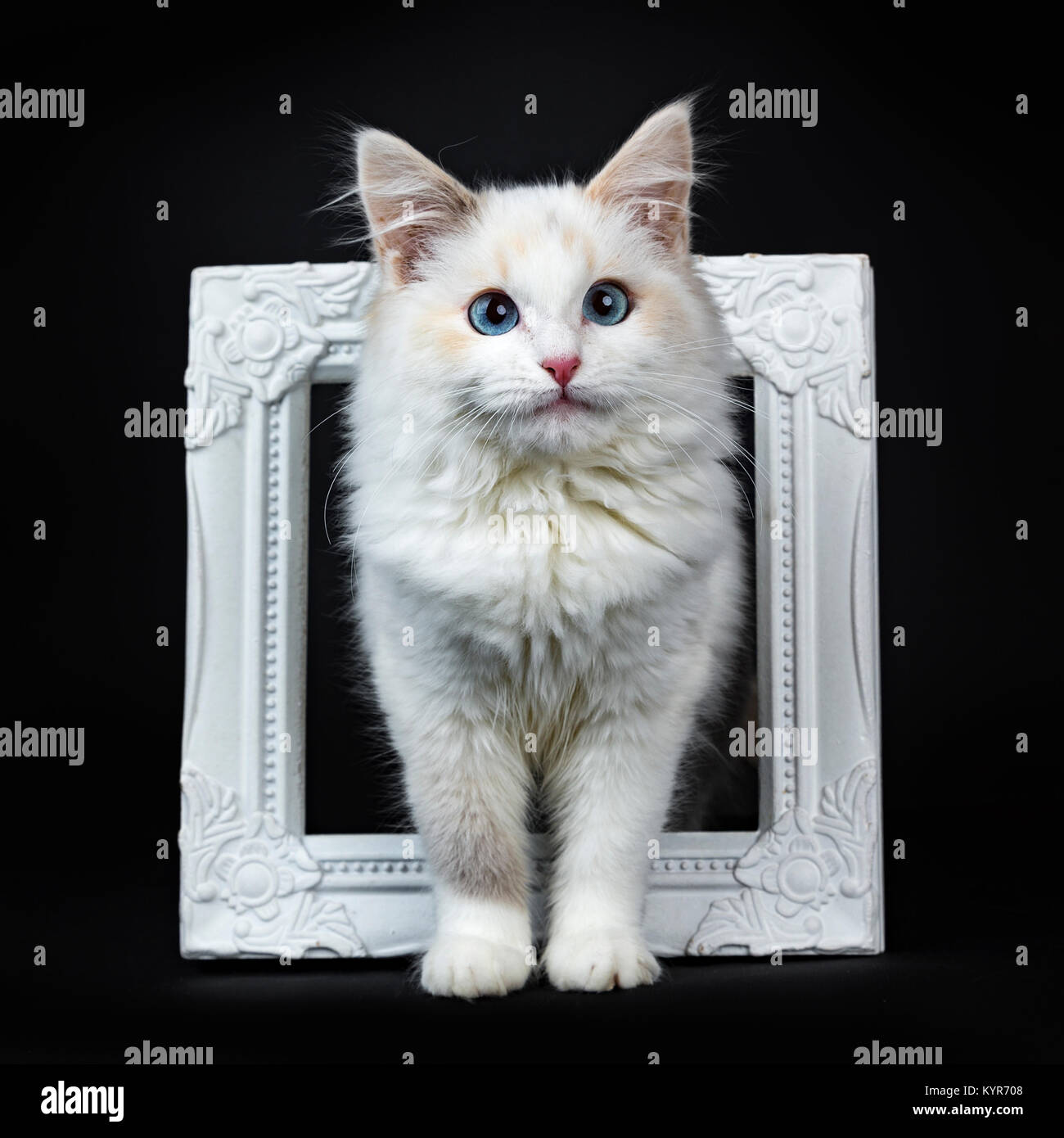 Blue eyed ragdoll cat / kitten standing in photoframe isolated on black background facing camera - Stock Image