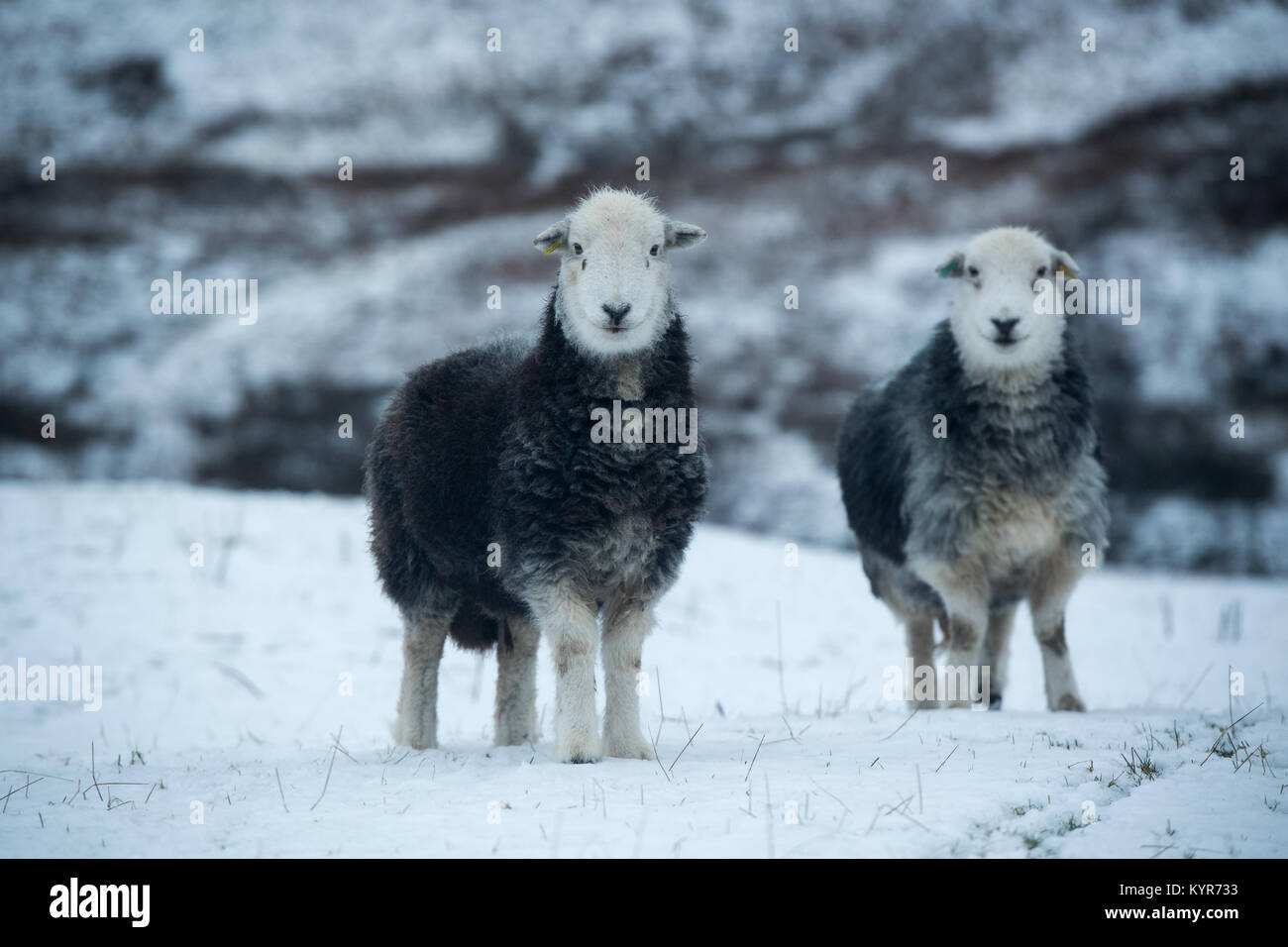 Herdwick sheep, traditional hill breed from Cumbria, in snowy weather, Cumbria, UK Stock Photo
