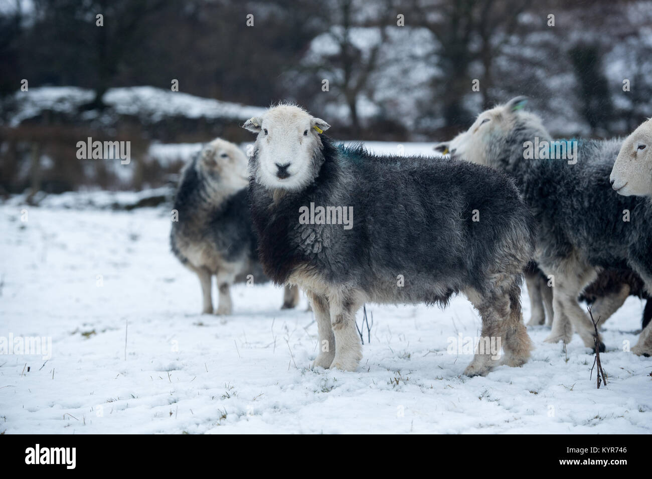 Herdwick sheep, traditional hill breed from Cumbria, in snowy weather, Cumbria, UK - Stock Image