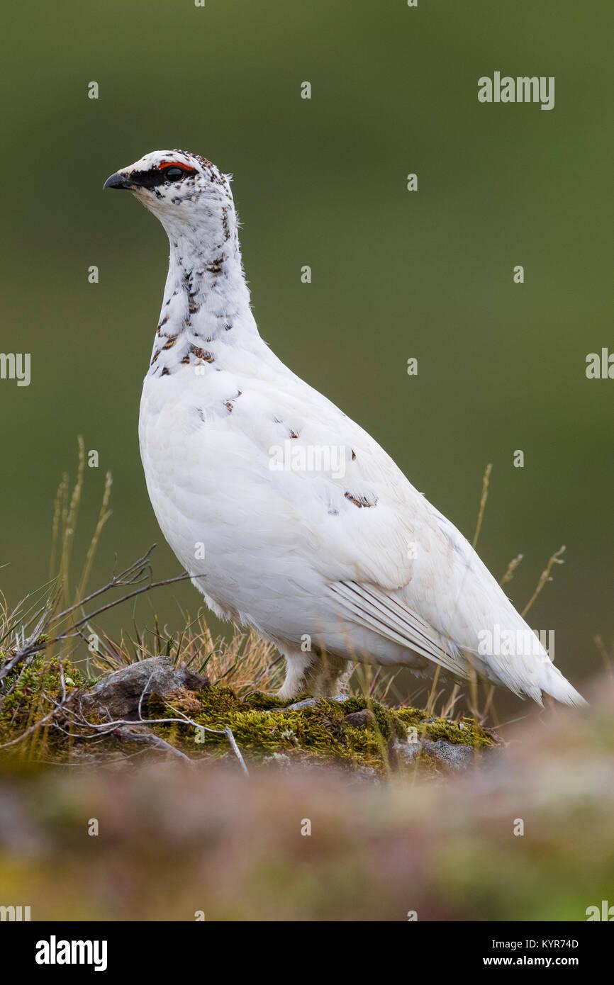 Rock Ptarmigan (Lagopus lagopus islandorum), adult in almost complete winter plumage standing on the ground - Stock Image