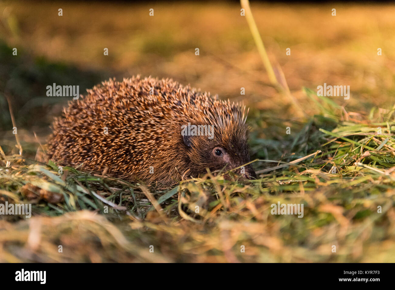 A Common Hedgehog, Erinaceus europaeus, found in hay meadow after harvesting at nightime. North Yorkshire, UK. - Stock Image