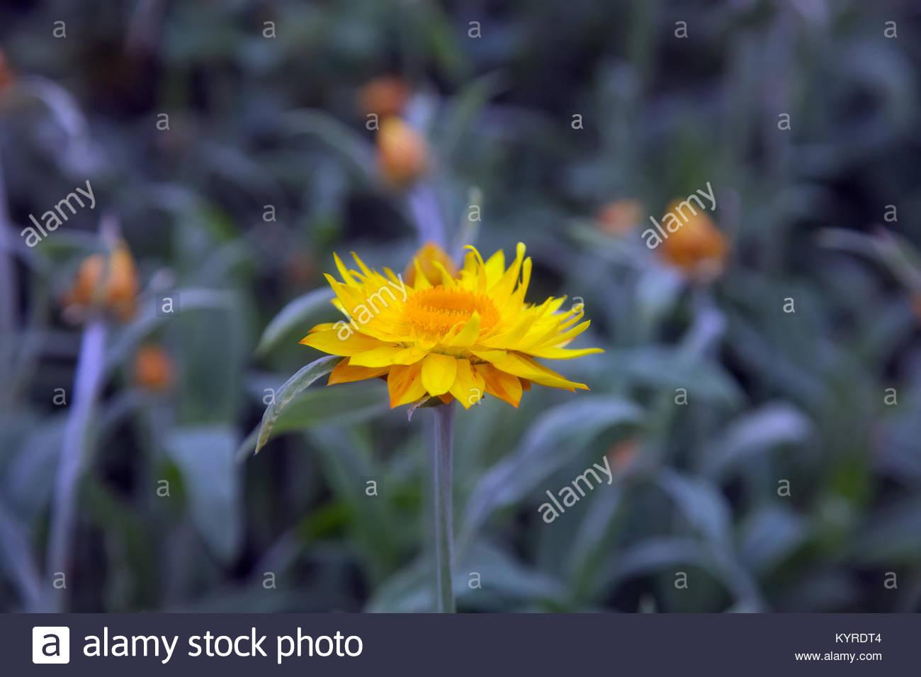 Xerochrysum bracteatum dargan hill monarch everlasting flower xerochrysum bracteatum dargan hill monarch everlasting flower izmirmasajfo