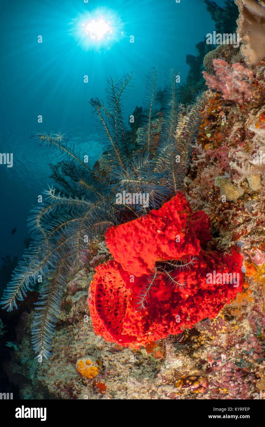 Scarp slope of the reef with crinoid in a Barrel Sponge ( Echinodictyum spec.). - Stock Image