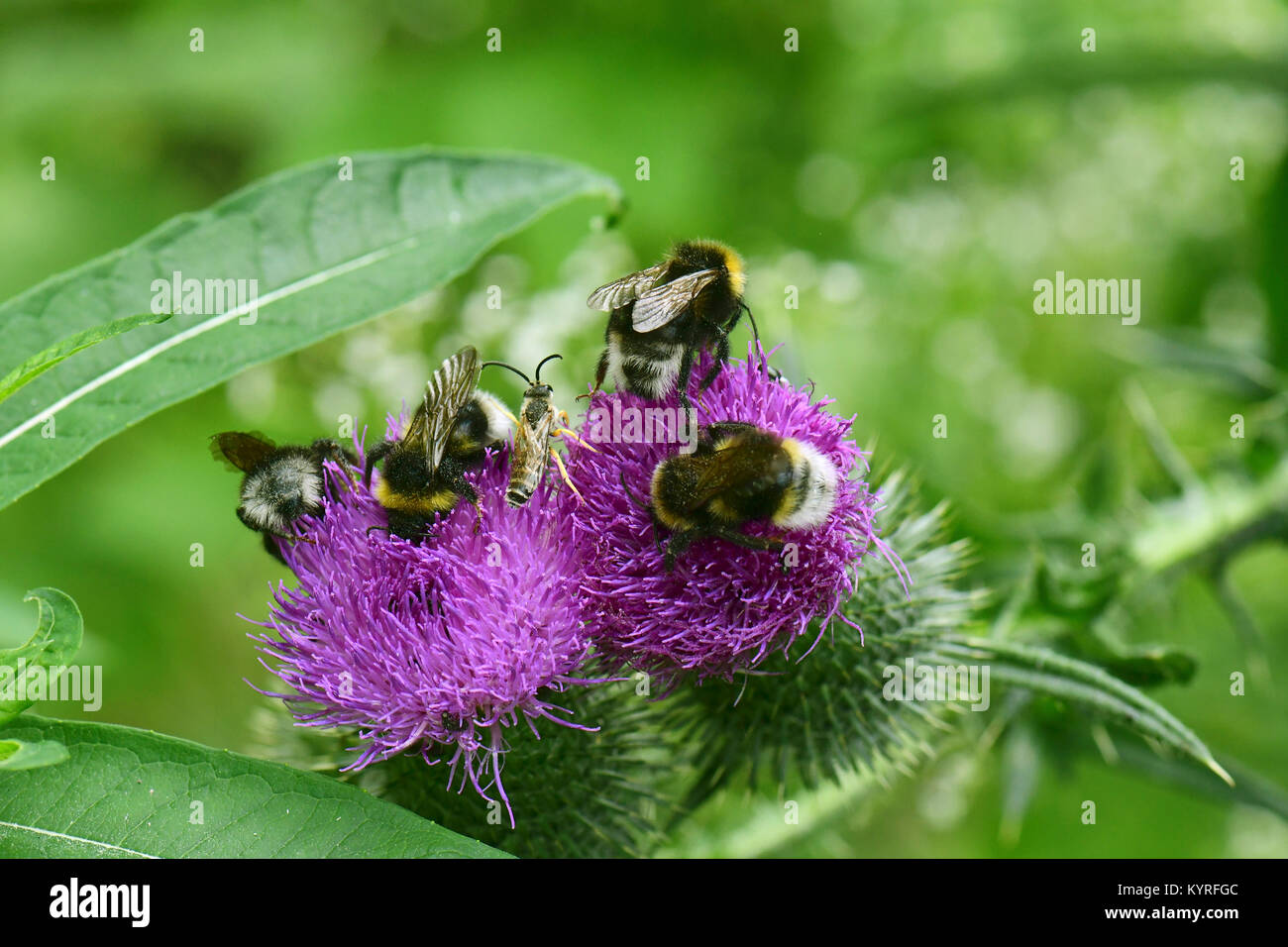 Forest Cuckoo Bumblebee, four coloured cuckoo bee (Bombus sylvestris)  several animals on a thistle blossom - Stock Image