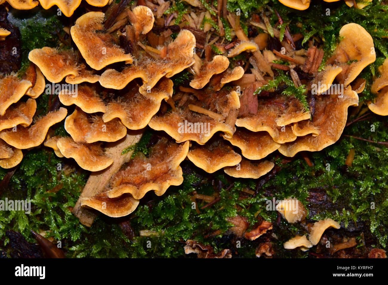 Hairy Stereum (Stereum hirsuitum) plant  pathogen mushroom on wood - Stock Image