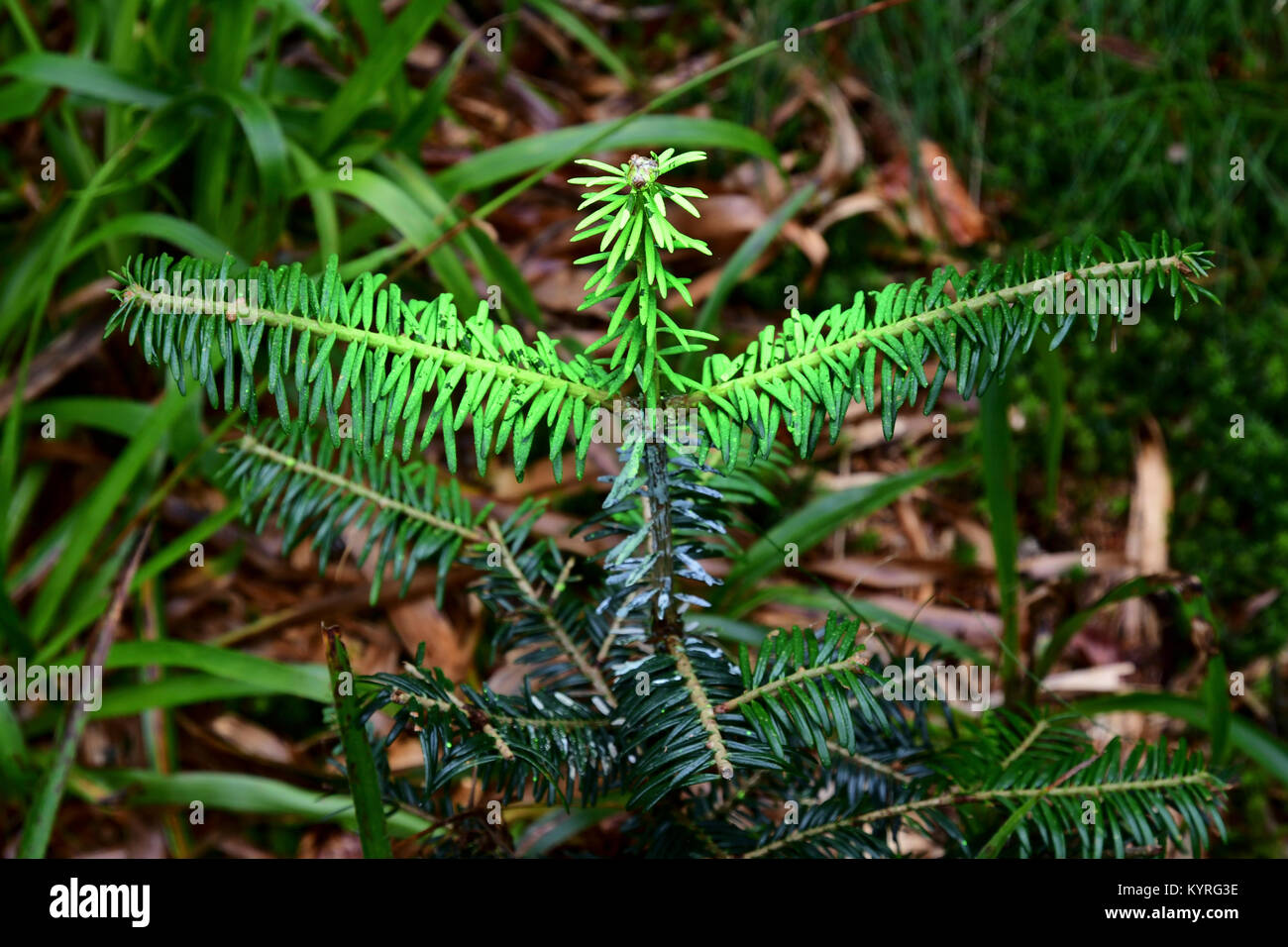Colouring and treating with Chemicals  the buds  to defend the young trees, here Abies alba, from damage caused - Stock Image