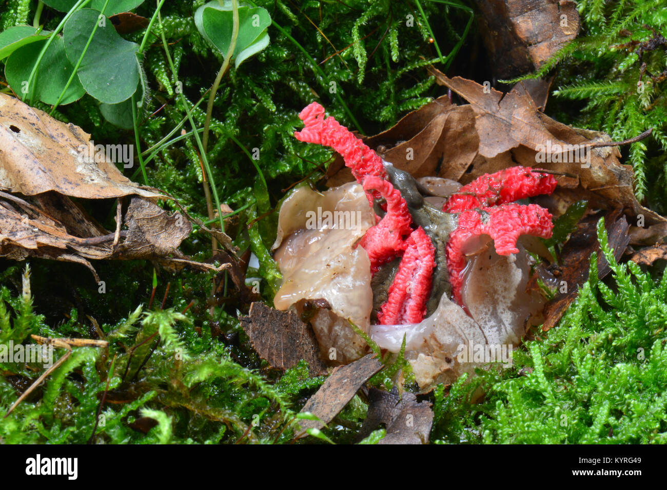 Octopus Stinkhorn, Giant Stinkhorn (Clathrus archeri, Anthurus archeri). Young fruiting body bursting out off the - Stock Image