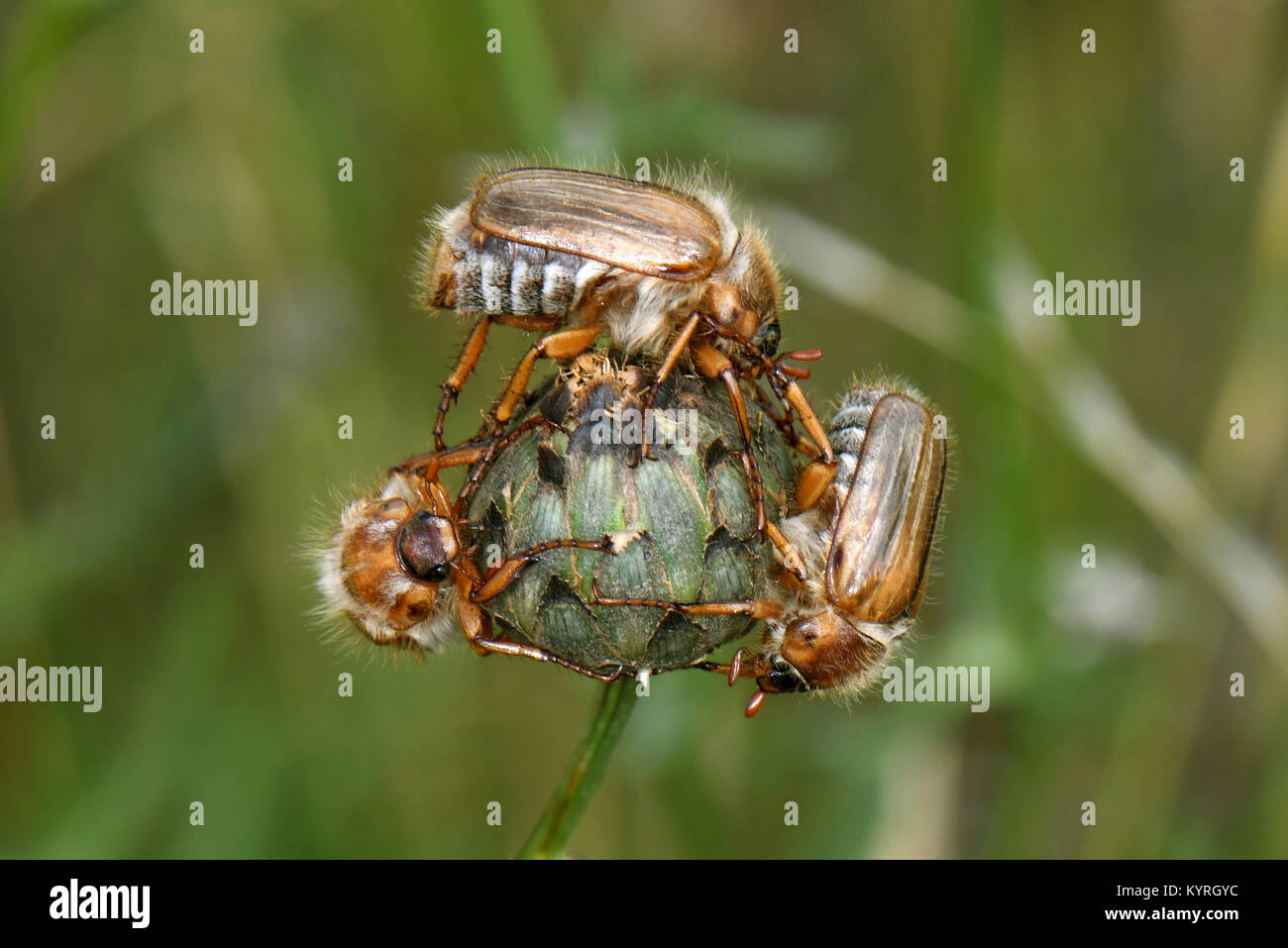 Summer Chafer, European June Beetle (Amphimallon solstitiale) three Imagos on  the flowerbud of a Knapweed ( Centaurea - Stock Image