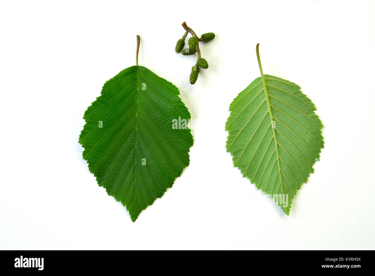Grey Alder, Gray Elder ( Alnus incana), leaves in front-and the backview and very green, young fruits, Studio, Freisteller - Stock Image