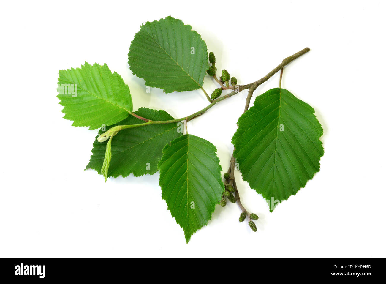 Grey Alder, Gray Elder ( Alnus incana), twig with leaves and  fruits, Studio, Freisteller - Stock Image