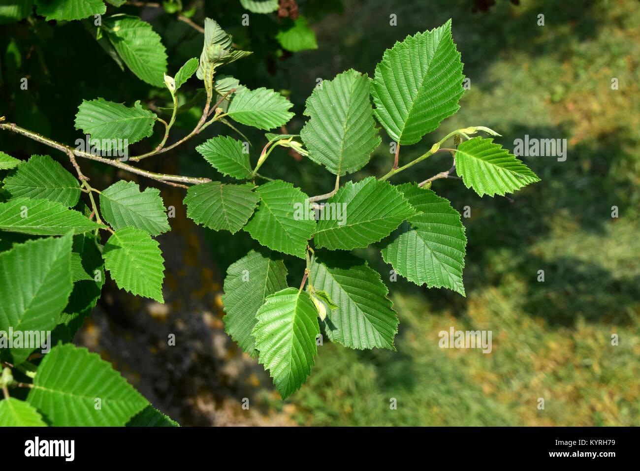 Grey Alder, Gray Elder ( Alnus incana), twig with leaves. - Stock Image